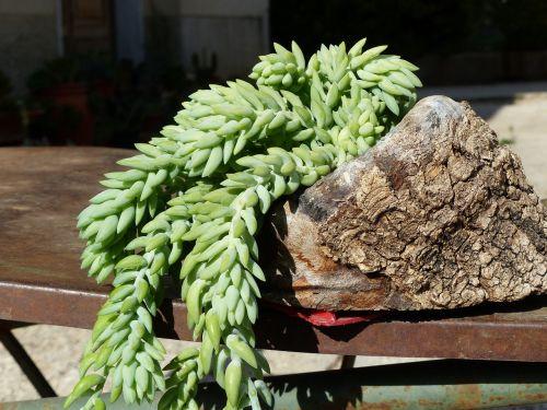 succulent plant fat plants green