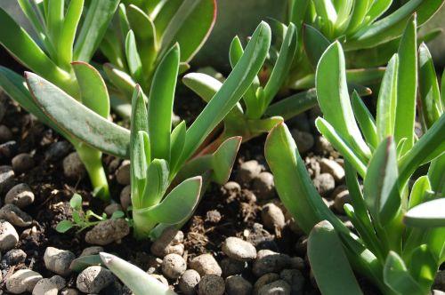 succulent plant hottentot fig carpobrotus modestus spring