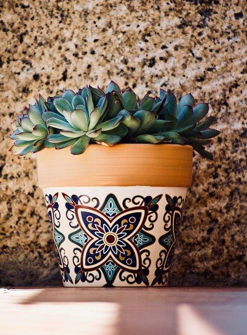 succulent plant  cactus  garden
