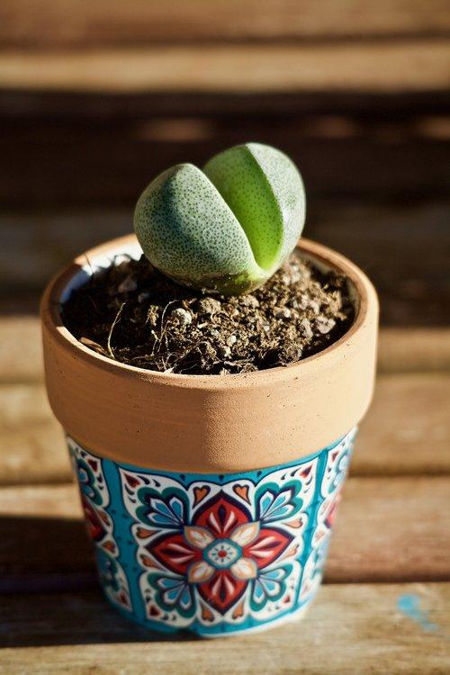 succulent plant  lithops  plant stone