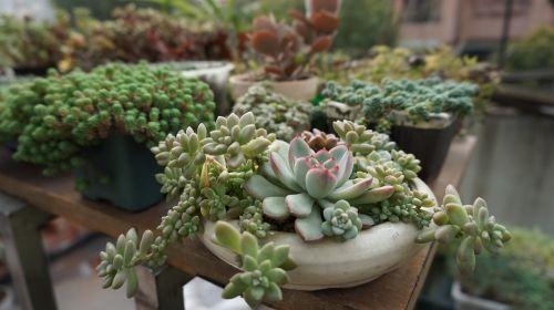 succulent plants green plants succulent