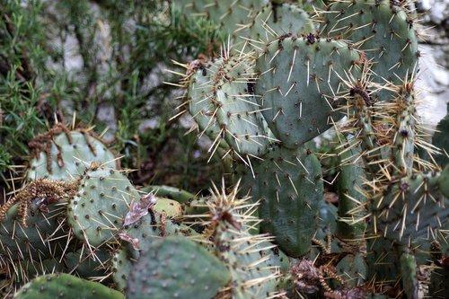 succulenten  cactus  succulent