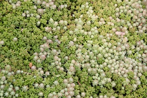succulents green periwinkle