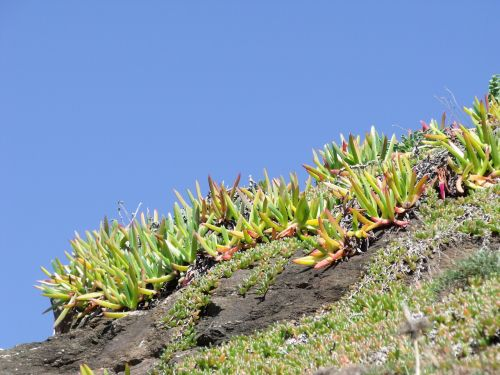 succulents vegetation cornwall