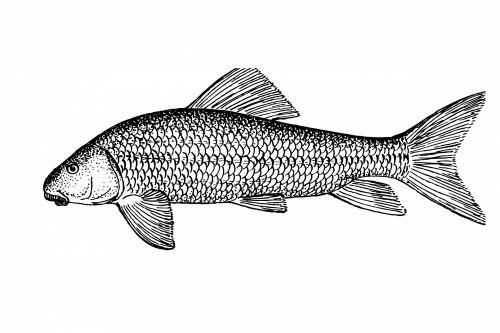 Sucker Fish Clipart Illustration