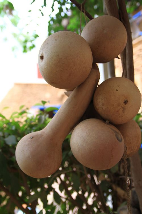 sudan fruit dry