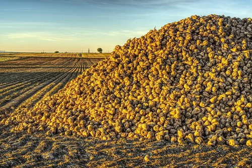 sugar beet  harvest  harvested