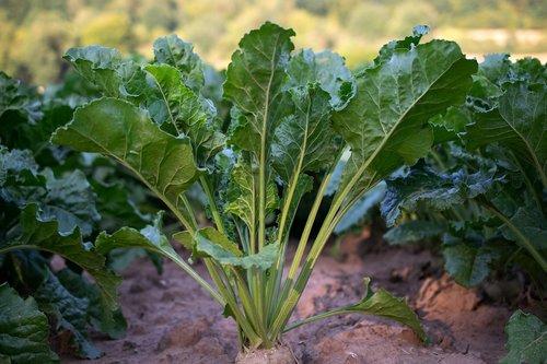 sugar beet  agriculture  harvest
