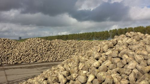 sugar beet yield polder