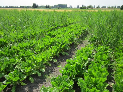 sugar beets field crop