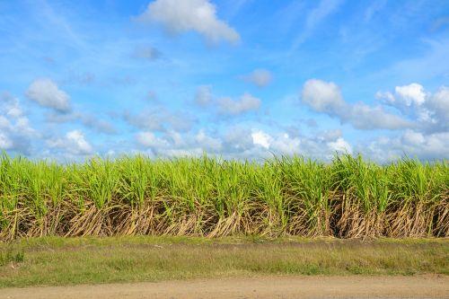 sugar cane field cultivation