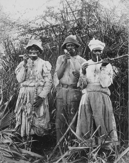 sugar cane harvest sugar cane jamaica