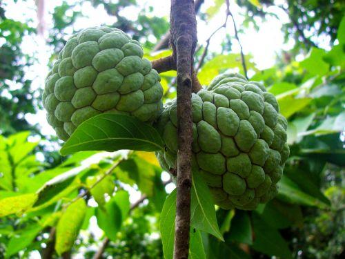 sugarapple sweetsop fruit
