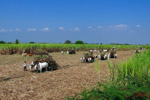 sugarcane harvest bullock cart