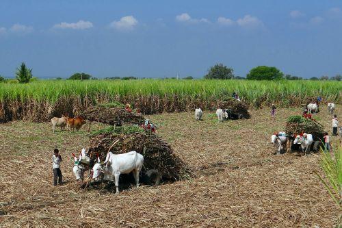 sugarcane field harvest