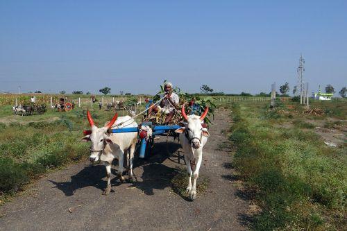 sugarcane background bullock cart