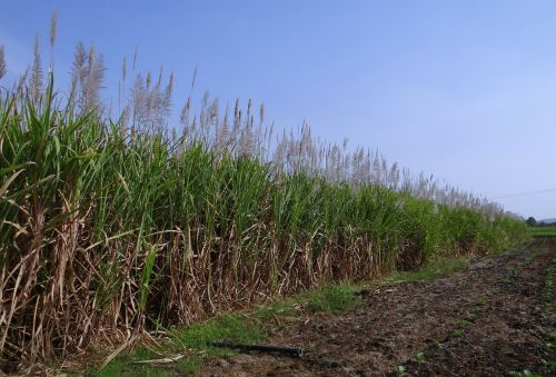sugarcane inflorescence flowers