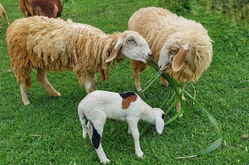 sugarcane eating sheep