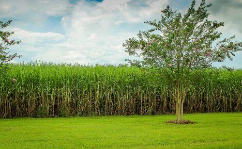 sugarcane cane field raw sugar
