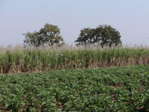 sugarcane field brinjal plantation india