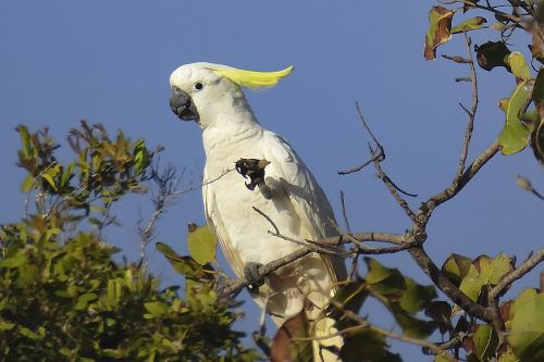 sulpher crested cockatoo 2