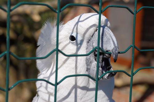 sulphur-crested cockatoo white cockatoo sulfur-crested