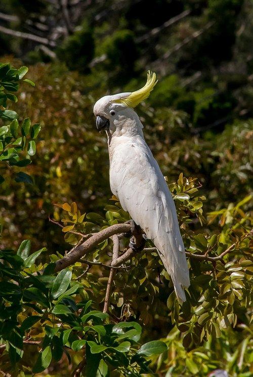 sulphur crested cockatoo  parrot  cacatua galerita