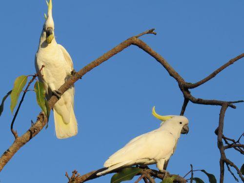 sulphur-crested cockatoos cacatua galerita fauna