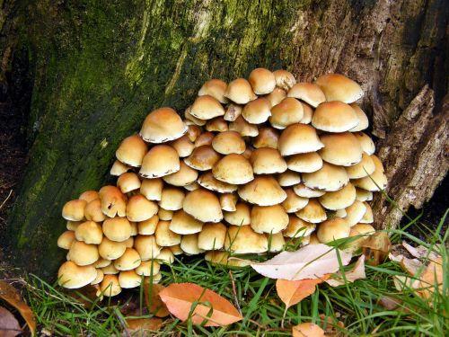 sulphur heads mushrooms forest