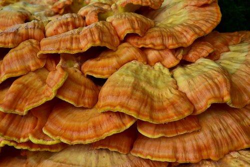 sulphur ovinus  tree fungus  mushroom