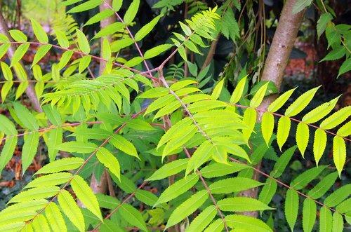 sumac  rhus typhyna  staghorn