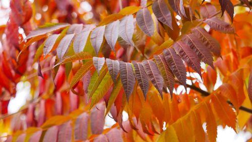 sumac leaves staghorn red leaves