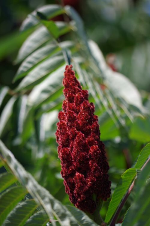 sumac lever pepper tree