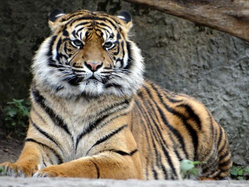 sumatran tiger nature predator