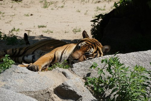 sumatran tiger  tiger  predator