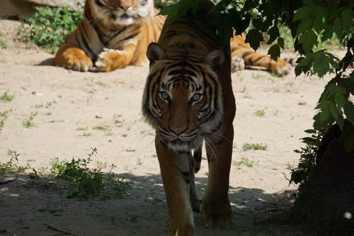 sumatran tiger  mammal  zoo