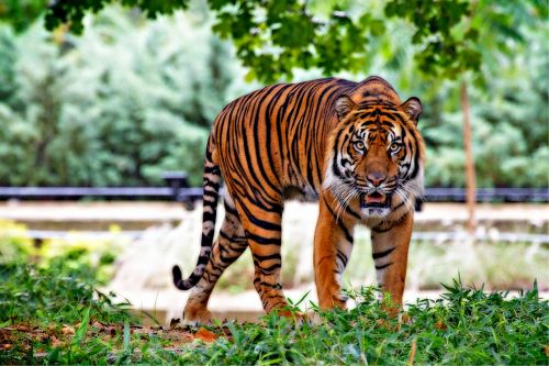 sumatran tiger tiger big cat