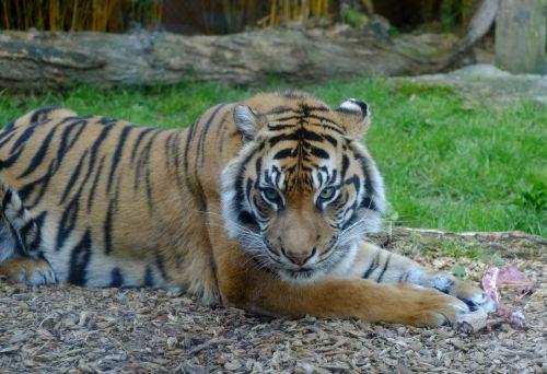Sumatran Tiger Portrait