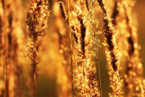 vasara,šiluma,įkvepiantis,geltona,lauke,saulė,nuotrauka,harmonija,kepsnys,laukinės gėlės,atsiminimai,nostalgija,makro,gyvoji gamta,žolė,keptas