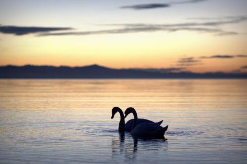 summer summer holiday swans
