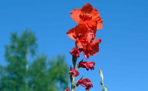gladiolus iridaceae flora