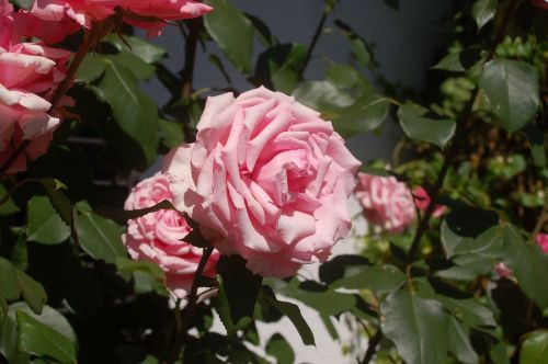 summer roses fragrance