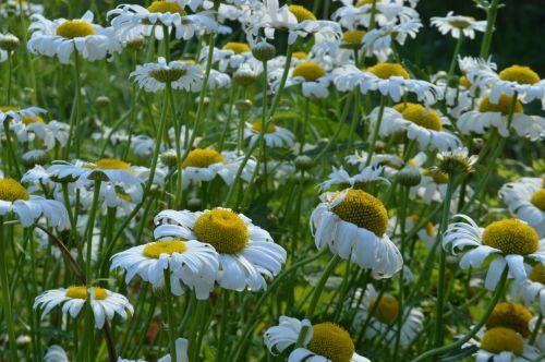summer chamomile glade