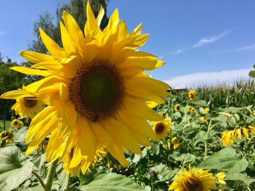summer flower sun flower