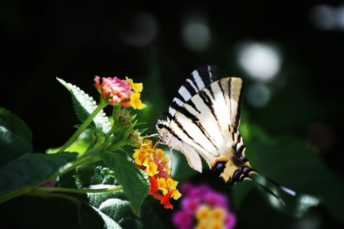 summer  butterfly  insect