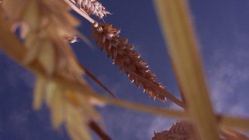 summer  cereals  spike