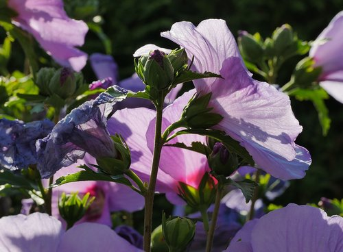 summer  hibiscus flowers  bud