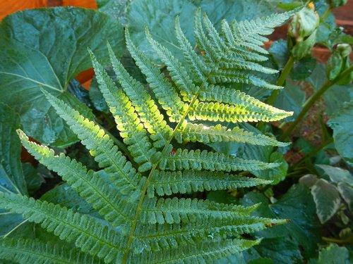summer  fern  greens