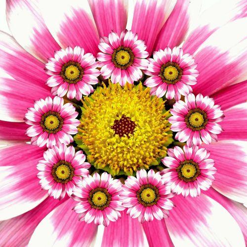 vasara,gėlė,gamta,koliažas,rožinis,žiedas,žydėti,botanika grafinė gėlė,botanika,augalas,sodo vasara