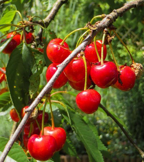 summer cherries red